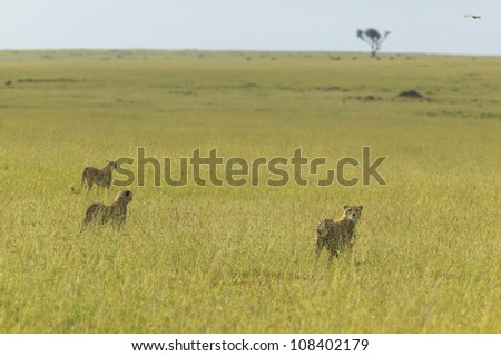 Three Cheetahs at Masai Mara near Little Governor's camp in Kenya, Africa