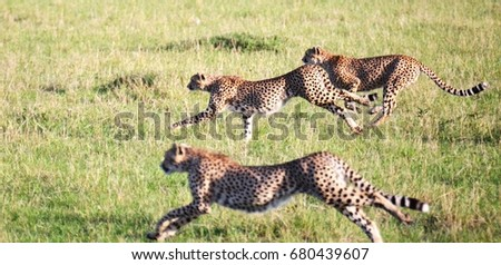 three cheetahs hunting