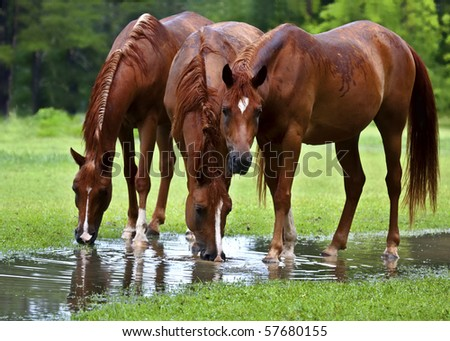 Three chestnut colored Arabian drinking from puddle after rain.