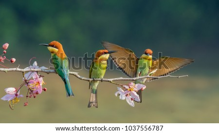 Photo of  three Chestnut-headed bee-eater on the sticky wood with shallow blurry background one of them spread the wings in high definition, Bee eater, bird , aves with pink flower