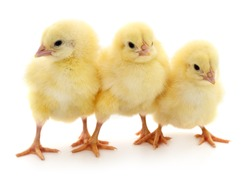 Three chicks in front of white background.