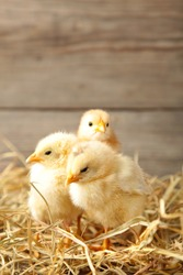Three chicks with straw on a grey wooden background.Top view.