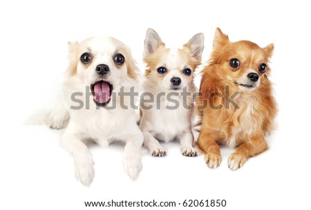 three chihuahuas dogs  lying in line on white looking at camera
