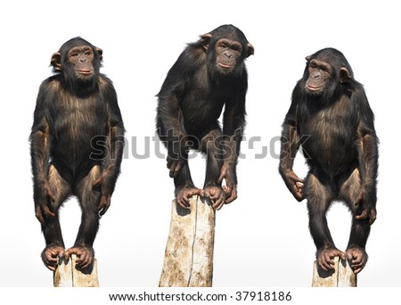 three chimpanzees #37918186