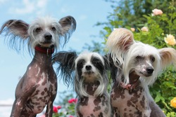 three Chinese crested dogs hairless in the garden