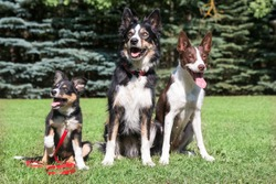 Three chocolate brown and white tricolor border collie sitting on the green grass outdoors field. Smartest dog breed funny attractive border collie puppy with his parents on outside walk