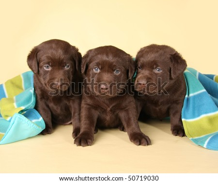 Three chocolate labrador retriever puppies.