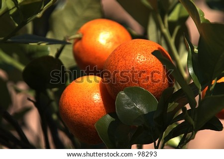 Three citrus fruits ripened on the tree are ready to pick.