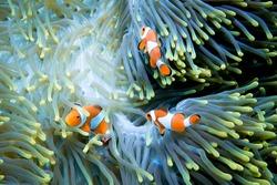 Three clownfish in their anemone