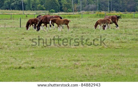 Three Clydesdale mares with foals in the pasture