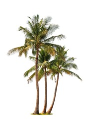 Three coconut palm trees isolated on white background