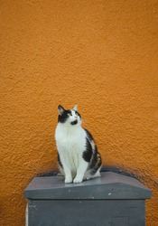 Three color cat in front of orange wall on the street