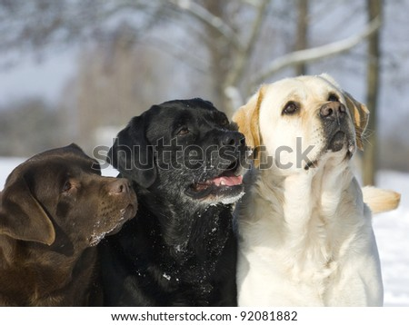 Three color Labradors