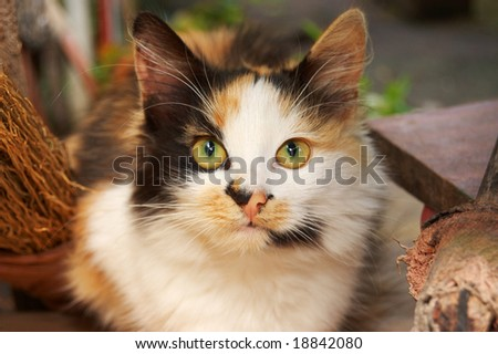 Three-color witches' cat - stock photo