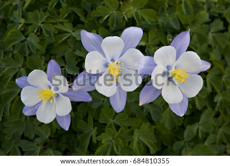 Three Colorado blue Columbine (Aquilegia caerulea), Yankee Boy Basin, near Ouray, Colorado. These are the state flower of Colorado.