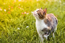 Three colored cat is walking on the meadow and looking up at something.