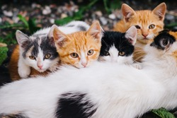 Three-colored cat with beautiful yellow eyes feeds kittens. Kittens with their mom. Cat family