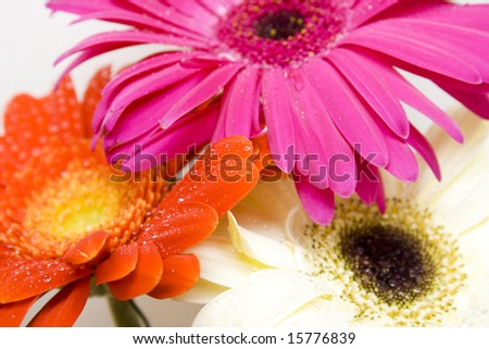 Three colored daisy - red, pink and white