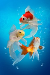 Three colorful aquarium fishes in fish tank,  carassius auratus on blue background, white red and yellow goldfish with bubbles, underwater scene