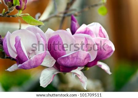 Three colorful blossoms of the Magnolia lilliflora plant