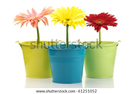 Three colorful buckets with gerberas isolated on white background.