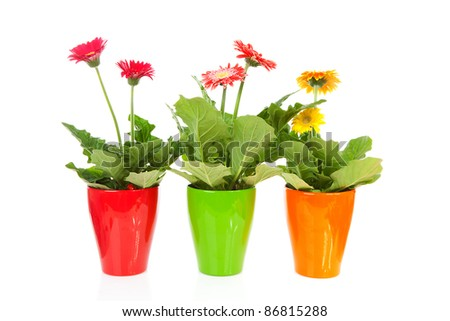 Three colorful Gerber flowers in pot over white background