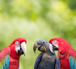 Three colorful parrots meeting together with green background