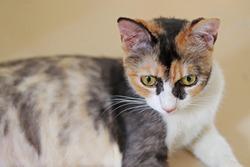 three colors cat staring at the camera with big eyes