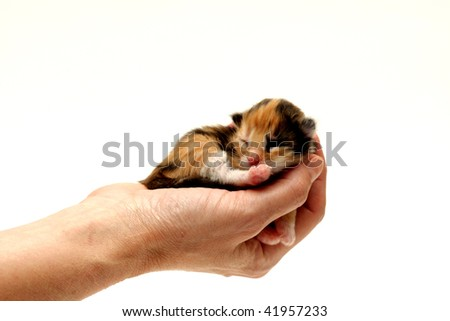 Three-coloured kitten lying in hand isolated on white background. Two days from birth