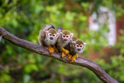 Three common squirrel monkeys sitting on a tree branch very close to each other