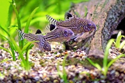 Three Corydoras Trinilleatus Catfish swimming in a planted tropical aquarium.  Space for copy.