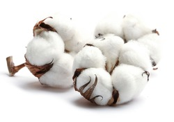 Three cotton flowers isolated on a white background. Cotton bolls. Studio shot.