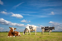 Three cows, frisian holstein, in a pasture under a blue sky and a faraway straight horizon, two stands upright and one lying cows.