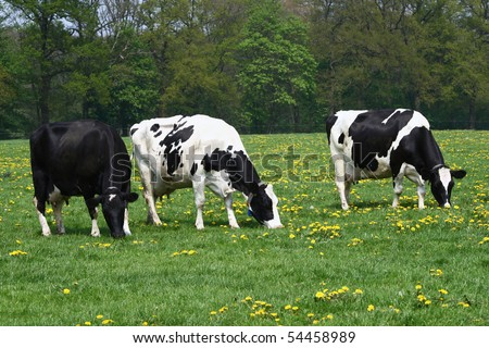 Three cows grazing in a Dandelion covered meadow field in Spring