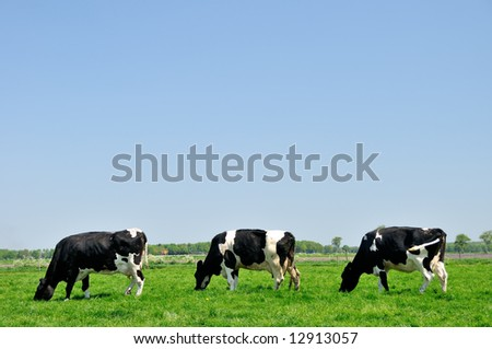 Three cows grazing in the meadow
