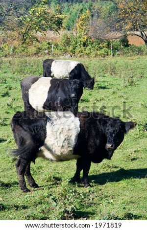 Three cows that look like Oreo cookies