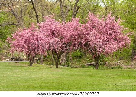 Three crab apple trees in full bloom.