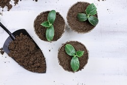 Three cucumber seedling plants in peat pots with gardening trowl pots and soil on a white wooden table. Image shot from above in flat lay style.