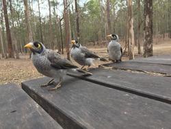 Three curious Noisy Miner birds (Manorina melanocephala) standing on a wooden table at a picnic area in Daisy Hill, Australia