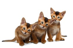 Three Cute Abyssinian Kitten Sitting and Curious Looks, Stare in Camera on Isolated White Background, Front view, Playful cat family
