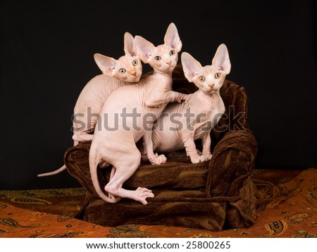 Three cute and pretty hairless Sphynx kittens on miniature brown chair, on black and brown background fabric