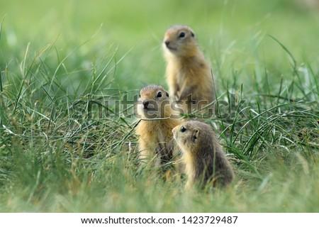 three cute baby gopher peering somewhere