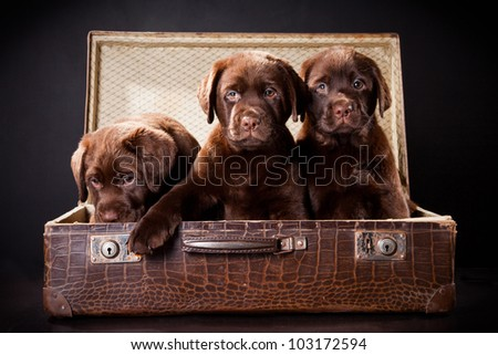 three cute chocolate puppies of Labrador Retriever amicably sitting in brown vintage leather suitcase on black background