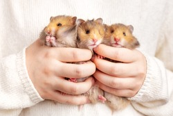 Three cute fluffy golden hamsters in the hands of a child on a light background. Triplets. Pet care concept, love for animals. A rodent with thick cheeks. Beautiful postcard with an animal theme.