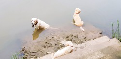 Three cute golden retriever dogs are hot and sitting on the river or lake to make body cool - Animal or Pet and Nature concept