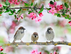 three cute little birds sparrows sit on an Apple tree branch with pink flowers and buds in a may Sunny garden