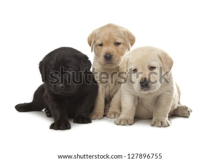 three cute little Labrador Retriever puppies isolated over white background