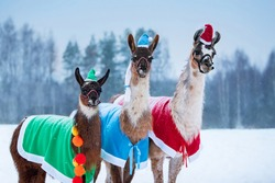 Three cute llamas in Santa hats dressed for Christmas outdoors in winter