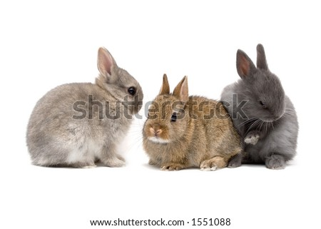 Three cute Netherland dwarf bunnies on white background