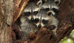 Three cute raccoons on a tree.